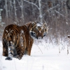 Download tiger in snow wallpapers, tiger in snow wallpapers Free Wallpaper download for Desktop, PC, Laptop. tiger in snow wallpapers HD Wallpapers, High Definition Quality Wallpapers of tiger in snow wallpapers.