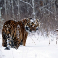 Tiger In Snow Wallpapers