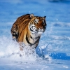 Download tiger in water wallpapers, tiger in water wallpapers Free Wallpaper download for Desktop, PC, Laptop. tiger in water wallpapers HD Wallpapers, High Definition Quality Wallpapers of tiger in water wallpapers.
