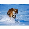 Tiger In Water Wallpapers