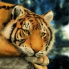 Download tiger painting wallpapers, tiger painting wallpapers Free Wallpaper download for Desktop, PC, Laptop. tiger painting wallpapers HD Wallpapers, High Definition Quality Wallpapers of tiger painting wallpapers.