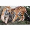 Tiger Pair Wallpapers