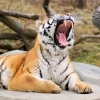 Download tiger roaring wallpapers, tiger roaring wallpapers Free Wallpaper download for Desktop, PC, Laptop. tiger roaring wallpapers HD Wallpapers, High Definition Quality Wallpapers of tiger roaring wallpapers.