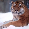 Download tiger snow wide wallpapers, tiger snow wide wallpapers Free Wallpaper download for Desktop, PC, Laptop. tiger snow wide wallpapers HD Wallpapers, High Definition Quality Wallpapers of tiger snow wide wallpapers.
