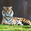 Download tiger staring wallpapers, tiger staring wallpapers Free Wallpaper download for Desktop, PC, Laptop. tiger staring wallpapers HD Wallpapers, High Definition Quality Wallpapers of tiger staring wallpapers.