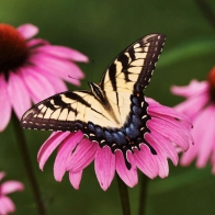 Tiger Swallowtail Butterfly Purple Coneflower Wallpapers
