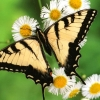 Download tiger swallowtail butterfly wallpapers, tiger swallowtail butterfly wallpapers Free Wallpaper download for Desktop, PC, Laptop. tiger swallowtail butterfly wallpapers HD Wallpapers, High Definition Quality Wallpapers of tiger swallowtail butterfly wallpapers.