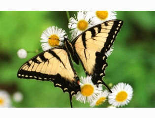Tiger Swallowtail Butterfly Wallpapers