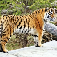 Tiger Widescreen Hd Wallpapers