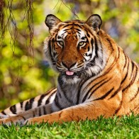 Tiger Widescreen Wallpapers