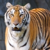 Download tigers high quality wallpapers, tigers high quality wallpapers Free Wallpaper download for Desktop, PC, Laptop. tigers high quality wallpapers HD Wallpapers, High Definition Quality Wallpapers of tigers high quality wallpapers.