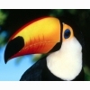 Toco Toucan Hd Wallpapers