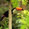 Download toco toucan in the tropical forest wallpapers, toco toucan in the tropical forest wallpapers Free Wallpaper download for Desktop, PC, Laptop. toco toucan in the tropical forest wallpapers HD Wallpapers, High Definition Quality Wallpapers of toco toucan in the tropical forest wallpapers.