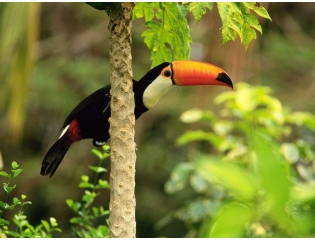 Toco Toucan In The Tropical Forest Wallpapers