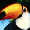 Download toco toucan wallpapers, toco toucan wallpapers Free Wallpaper download for Desktop, PC, Laptop. toco toucan wallpapers HD Wallpapers, High Definition Quality Wallpapers of toco toucan wallpapers.