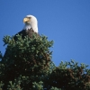 Download top bald eagle hd wallpapers, top bald eagle hd wallpapers Free Wallpaper download for Desktop, PC, Laptop. top bald eagle hd wallpapers HD Wallpapers, High Definition Quality Wallpapers of top bald eagle hd wallpapers.