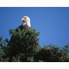 Top Bald Eagle Hd Wallpapers