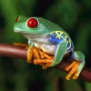 Download tree frogs hd wallpapers, tree frogs hd wallpapers Free Wallpaper download for Desktop, PC, Laptop. tree frogs hd wallpapers HD Wallpapers, High Definition Quality Wallpapers of tree frogs hd wallpapers.