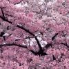 tree in bloom,nature landscape Wallpapers, nature landscape Wallpaper for Desktop, PC, Laptop. nature landscape Wallpapers HD Wallpapers, High Definition Quality Wallpapers of nature landscape Wallpapers.