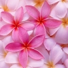 Download tropical plumeria, tropical plumeria  Wallpaper download for Desktop, PC, Laptop. tropical plumeria HD Wallpapers, High Definition Quality Wallpapers of tropical plumeria.