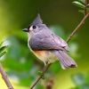 Download tufted titmouse hd wallpapers, tufted titmouse hd wallpapers Free Wallpaper download for Desktop, PC, Laptop. tufted titmouse hd wallpapers HD Wallpapers, High Definition Quality Wallpapers of tufted titmouse hd wallpapers.