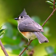 Tufted Titmouse Hd Wallpapers