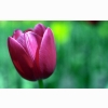Tulip Flower Hd Wide