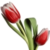 Download tulip model, tulip model  Wallpaper download for Desktop, PC, Laptop. tulip model HD Wallpapers, High Definition Quality Wallpapers of tulip model.