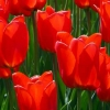 Download tulips cover, tulips cover  Wallpaper download for Desktop, PC, Laptop. tulips cover HD Wallpapers, High Definition Quality Wallpapers of tulips cover.