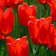 Tulips Cover