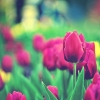 Download tulips garden, tulips garden  Wallpaper download for Desktop, PC, Laptop. tulips garden HD Wallpapers, High Definition Quality Wallpapers of tulips garden.