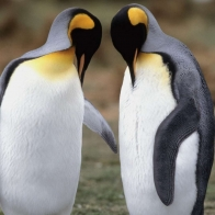Tuxedo Check King Penguins Hd Wallpapers