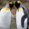 Download tuxedo check king penguins wallpapers, tuxedo check king penguins wallpapers Free Wallpaper download for Desktop, PC, Laptop. tuxedo check king penguins wallpapers HD Wallpapers, High Definition Quality Wallpapers of tuxedo check king penguins wallpapers.