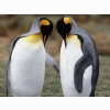 Tuxedo Check King Penguins Wallpapers