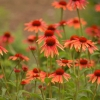 Download variety daisies, variety daisies  Wallpaper download for Desktop, PC, Laptop. variety daisies HD Wallpapers, High Definition Quality Wallpapers of variety daisies.