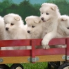 Download wagonload of samoyed puppies wallpapers, wagonload of samoyed puppies wallpapers Free Wallpaper download for Desktop, PC, Laptop. wagonload of samoyed puppies wallpapers HD Wallpapers, High Definition Quality Wallpapers of wagonload of samoyed puppies wallpapers.