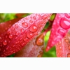 Water Bubbles On Pink Leaf Wallpapers