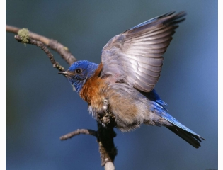 Western Bluebird Hd Wallpapers