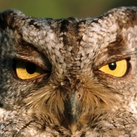 Western Screech Owl Hd Wallpapers New 15