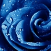 Download wet drops blue rose, wet drops blue rose  Wallpaper download for Desktop, PC, Laptop. wet drops blue rose HD Wallpapers, High Definition Quality Wallpapers of wet drops blue rose.