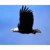 White Bald Eagle Hd Wallpapers