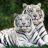 Download white bengal tigers widescreen wallpapers, white bengal tigers widescreen wallpapers Free Wallpaper download for Desktop, PC, Laptop. white bengal tigers widescreen wallpapers HD Wallpapers, High Definition Quality Wallpapers of white bengal tigers widescreen wallpapers.