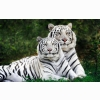 White Bengal Tigers Widescreen Wallpapers