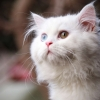 Download white cat wallpapers, white cat wallpapers Free Wallpaper download for Desktop, PC, Laptop. white cat wallpapers HD Wallpapers, High Definition Quality Wallpapers of white cat wallpapers.