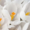 Download white crocus, white crocus  Wallpaper download for Desktop, PC, Laptop. white crocus HD Wallpapers, High Definition Quality Wallpapers of white crocus.