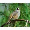 White Crowned Sparrow Hd Wallpapers