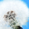 Download white dandelion, white dandelion  Wallpaper download for Desktop, PC, Laptop. white dandelion HD Wallpapers, High Definition Quality Wallpapers of white dandelion.