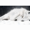 White Fox In Ice Wallpapers