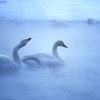 white goose hd wallpaper 1,nature landscape Wallpapers, nature landscape Wallpaper for Desktop, PC, Laptop. nature landscape Wallpapers HD Wallpapers, High Definition Quality Wallpapers of nature landscape Wallpapers.