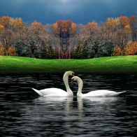 White Goose Hd Wallpaper 5